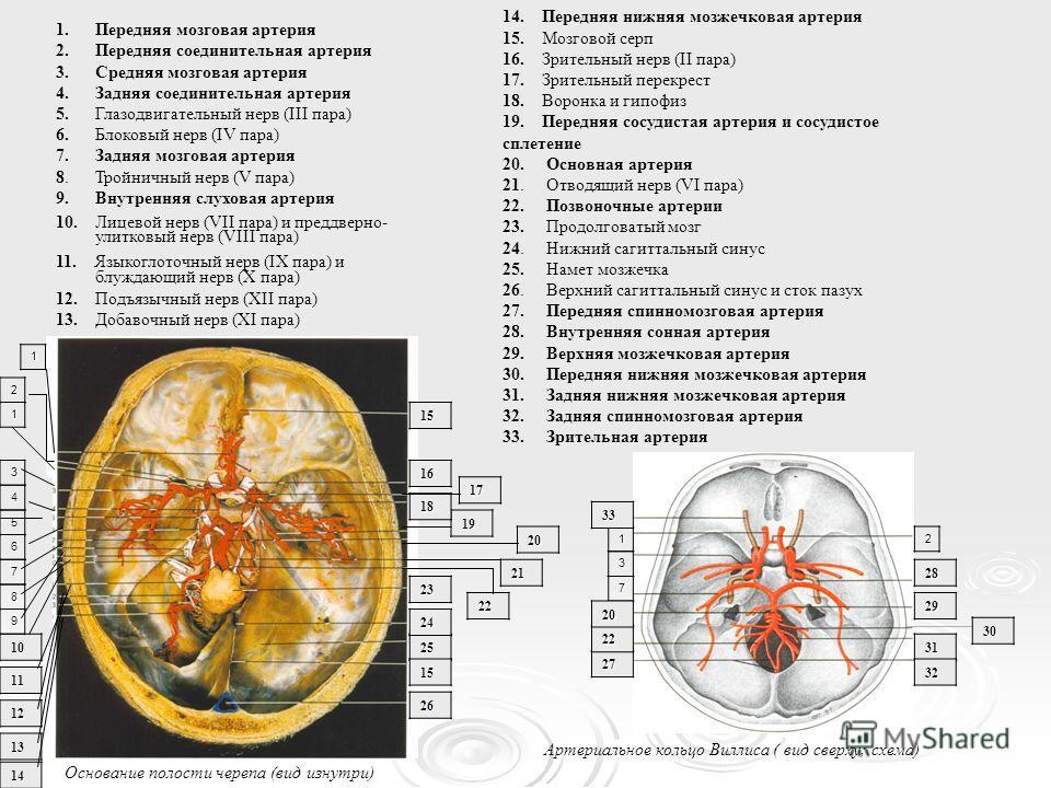 Основание полости черепа (вид изнутри) 1.Передняя мозговая артерия 2.Передняя соединительная артерия 3. Средняя мозговая артерия 4.Задняя соединительная артерия 5. Глазодвигательный нерв (III пара) 6. Блоковый нерв (IV пара) 7.Задняя мозговая артерия