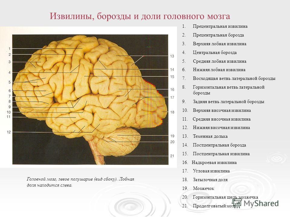 Схема мозги с участками
