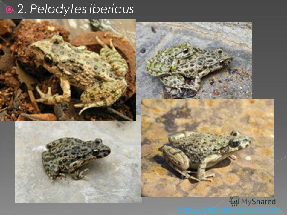2. Pelodytes ibericus http://calphotos.berkeley.edu