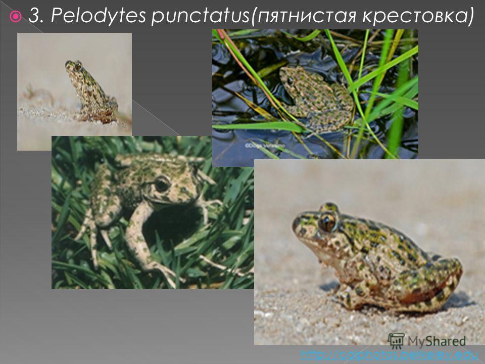 3. Pelodytes punctatus(пятнистая крестовка) http://calphotos.berkeley.edu