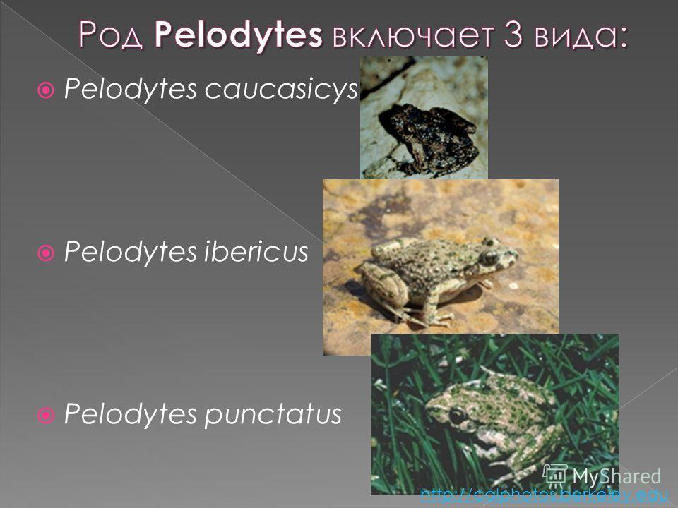 Pelodytes caucasicys Pelodytes ibericus Pelodytes punctatus http://calphotos.berkeley.edu