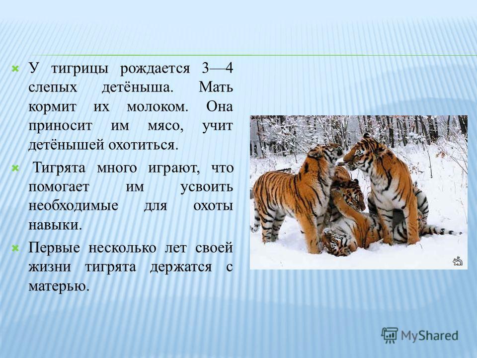 У тигрицы рождается 34 слепых детёныша. Мать кормит их молоком. Она приносит им мясо, учит детёнышей охотиться. Тигрята много играют, что помогает им усвоить необходимые для охоты навыки. Первые несколько лет своей жизни тигрята держатся с матерью.
