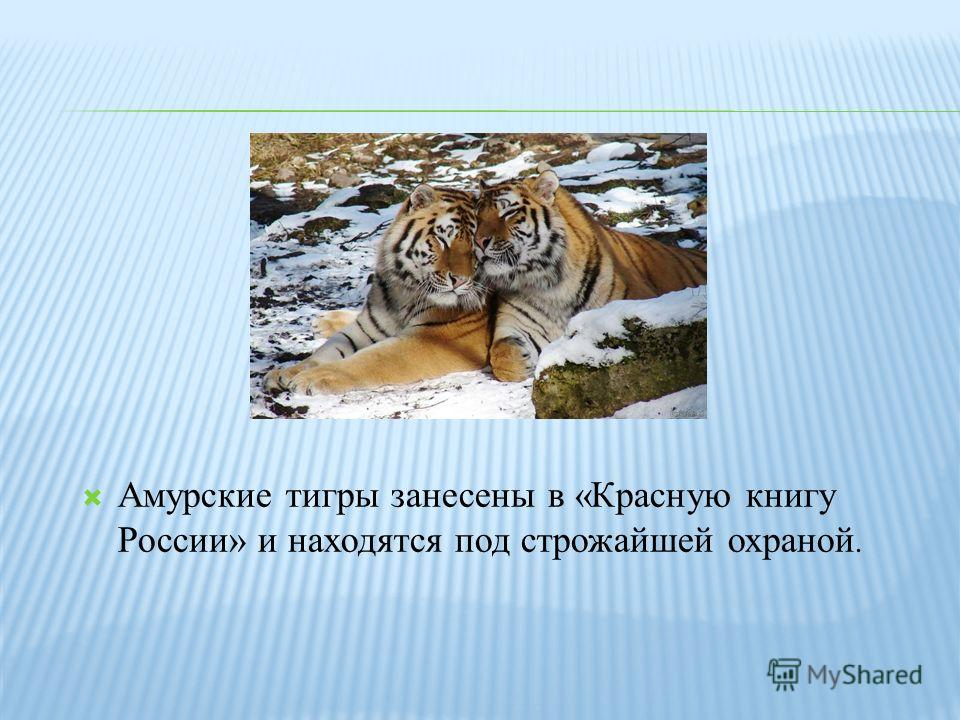 Амурские тигры занесены в «Красную книгу России» и находятся под строжайшей охраной.