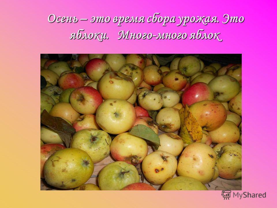 Осень – это время сбора урожая. Это яблоки. Много-много яблок Осень – это время сбора урожая. Это яблоки. Много-много яблок