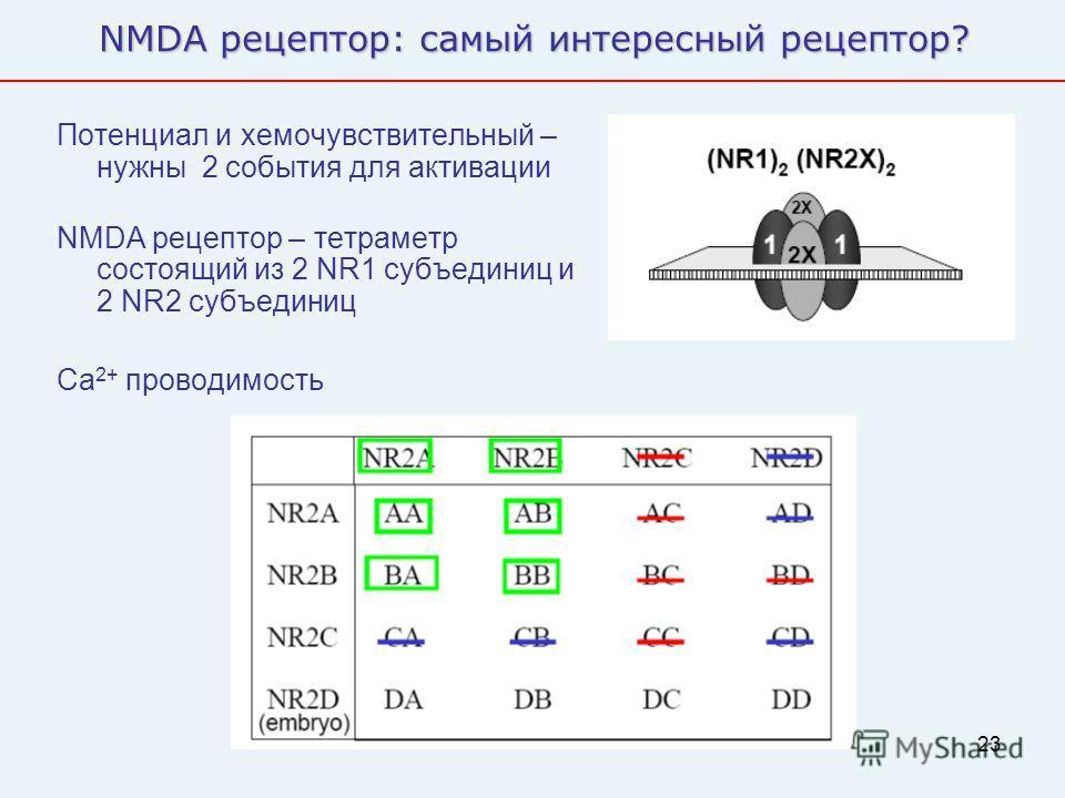 23 NMDA рецептор: самый интересный рецептор? Потенциал и хемочувствительный – нужны 2 события для активации NMDA рецептор – тетраметр состоящий из 2 NR1 субъединиц и 2 NR2 субъединиц Ca 2+ проводимость