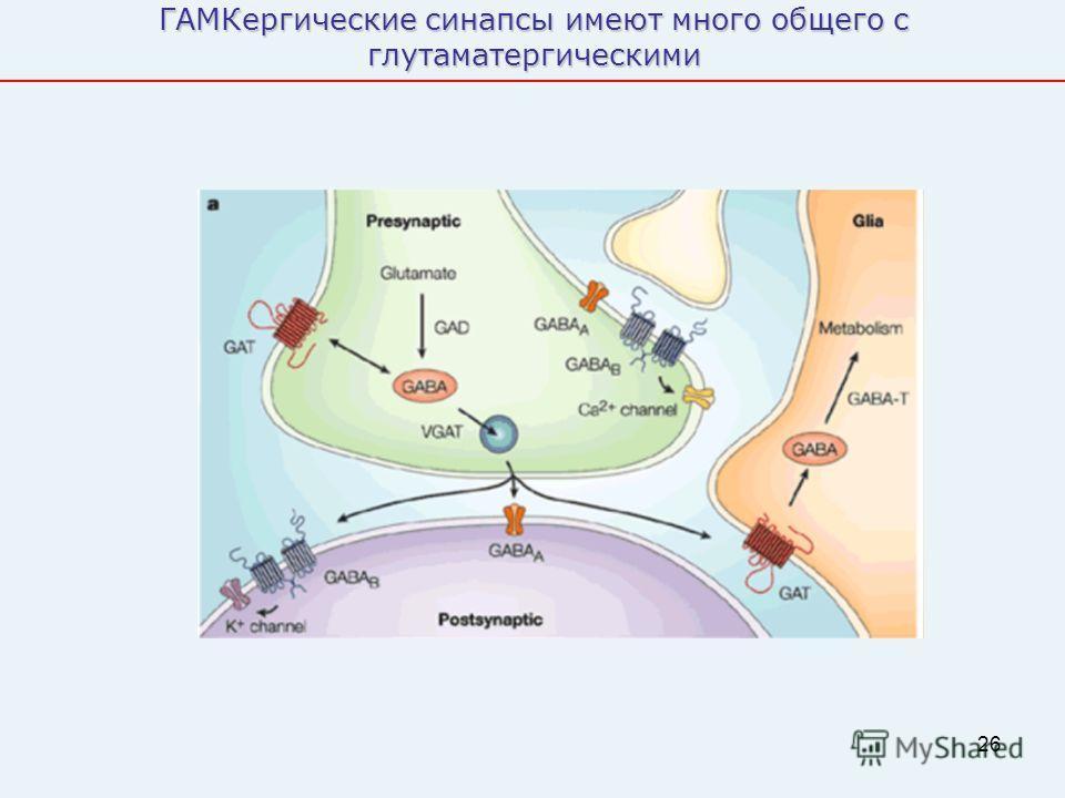26 ГАМКергические синапсы имеют много общего с глутаматергическими