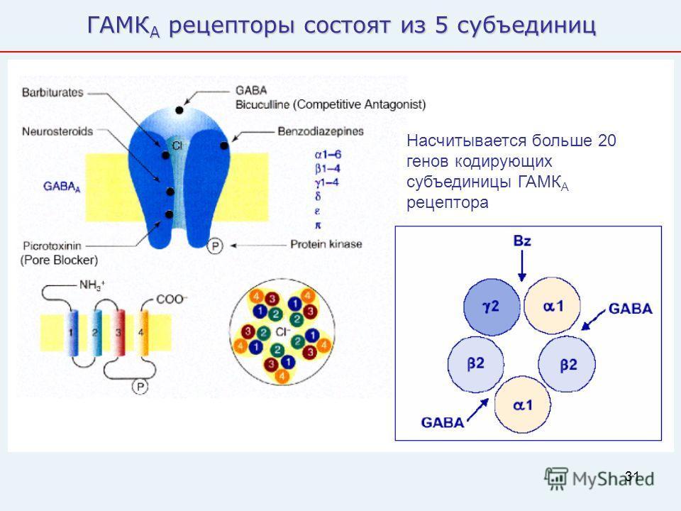 31 ГАМК А рецепторы состоят из 5 субъединиц Насчитывается больше 20 генов кодирующих субъединицы ГАМК А рецептора