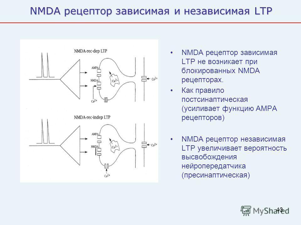 43 NMDA рецептор зависимая и независимая LTP NMDA рецептор зависимая LTP не возникает при блокированных NMDA рецепторах. Как правило постсинаптическая (усиливает функцию AMPA рецепторов) NMDA рецептор независимая LTP увеличивает вероятность высвобожд