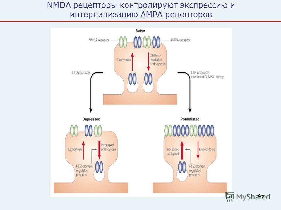 45 NMDA рецепторы контролируют экспрессию и интернализацию AMPA рецепторов