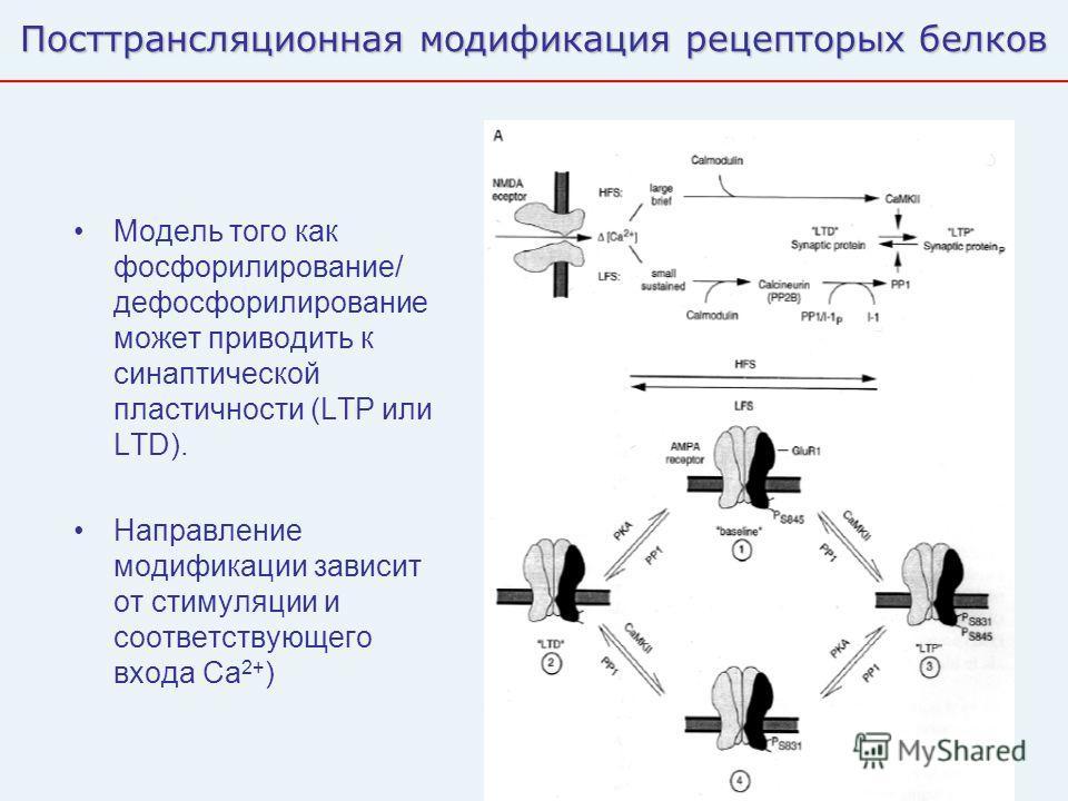 46 Посттрансляционная модификация рецепторых белков Модель того как фосфорилирование/ дефосфорилирование может приводить к синаптической пластичности (LTP или LTD). Направление модификации зависит от стимуляции и соответствующего входа Ca 2+ )