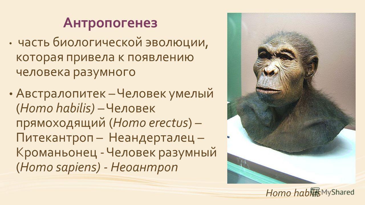 Антропогенез часть биологической эволюции, которая привела к появлению человека разумного Австралопитек – Человек умелый (Homo habilis) – Человек прямоходящий (Homo erectus) – Питекантроп – Неандерталец – Кроманьонец - Человек разумный (Homo sapiens)