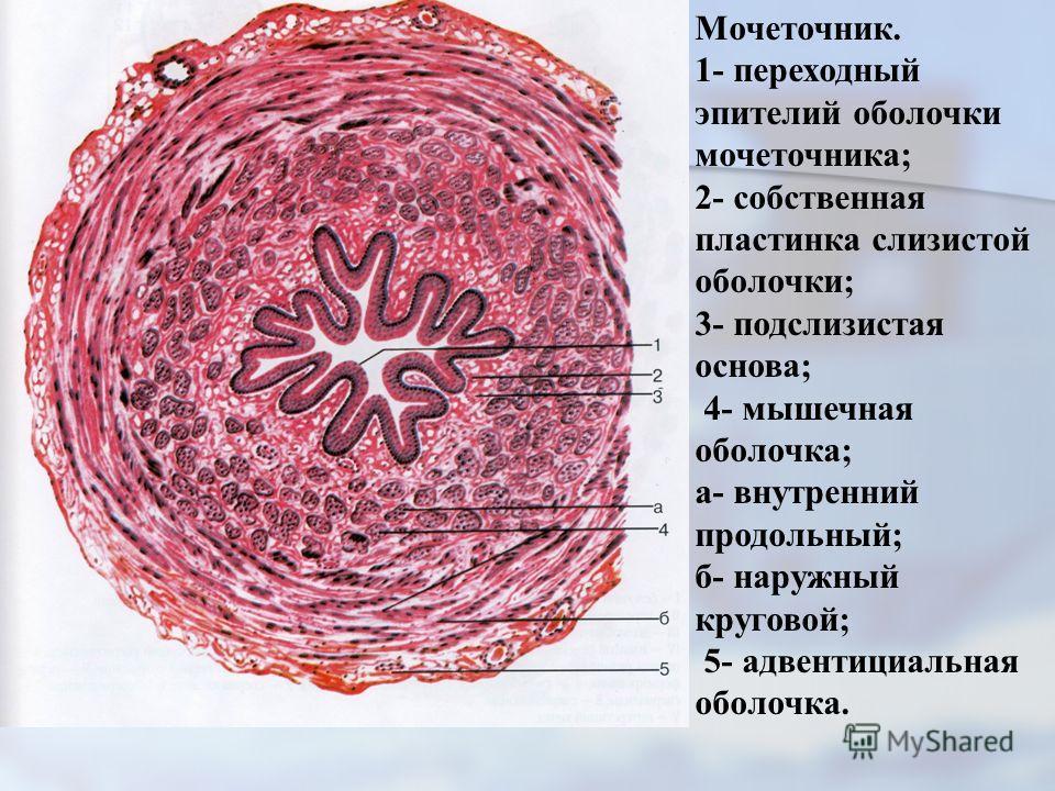 Мочеточник. 1- переходный эпителий оболочки мочеточника; 2- собственная пластинка слизистой оболочки; 3- подслизистая основа; 4- мышечная оболочка; а- внутренний продольный; б- наружный круговой; 5- адвентициальная оболочка.