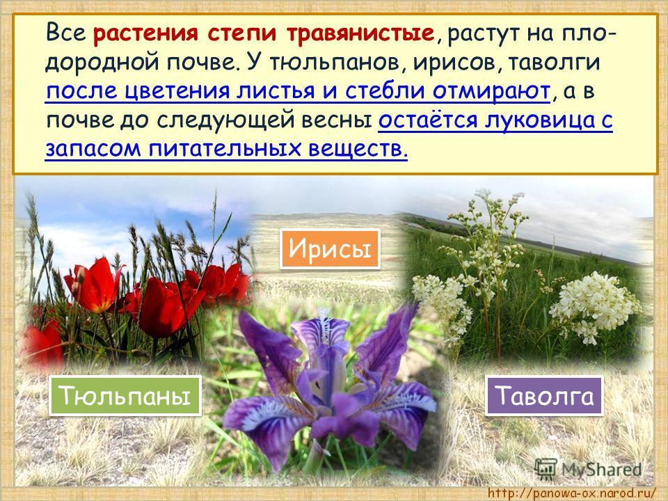Все растения степи травянистые, растут на пло- дородной почве. У тюльпанов, ирисов, таволги после цветения листья и стебли отмирают, а в почве до следующей весны остаётся луковица с запасом питательных веществ. Тюльпаны Таволга Ирисы