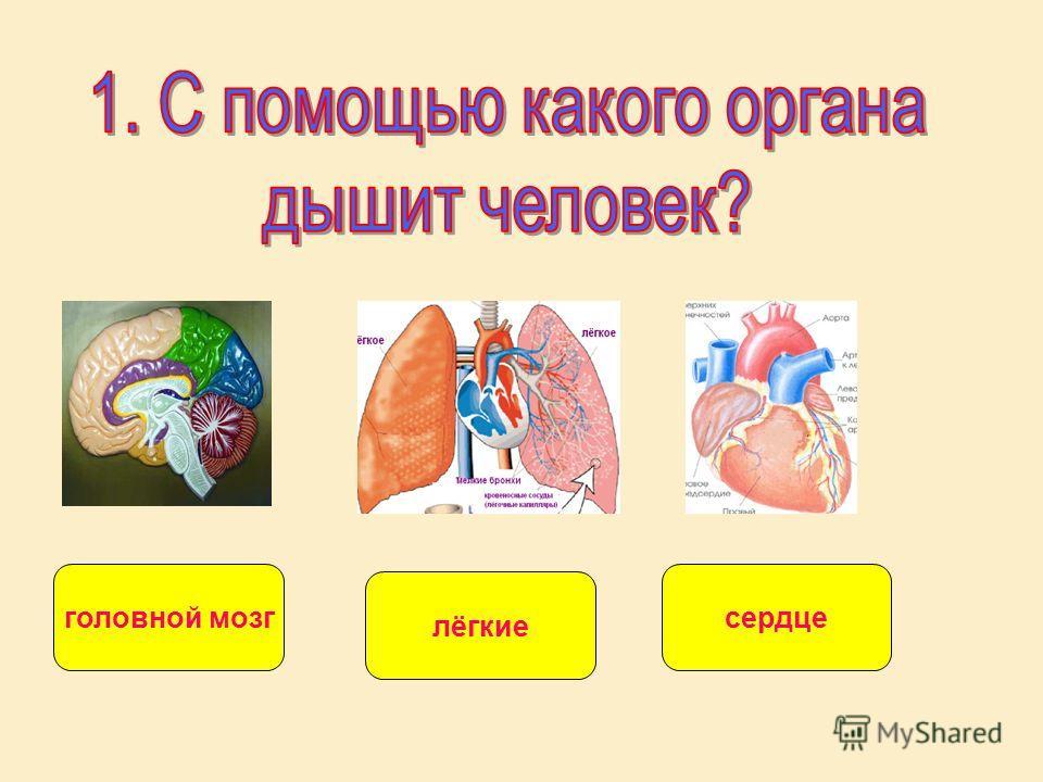 головной мозгсердце лёгкие