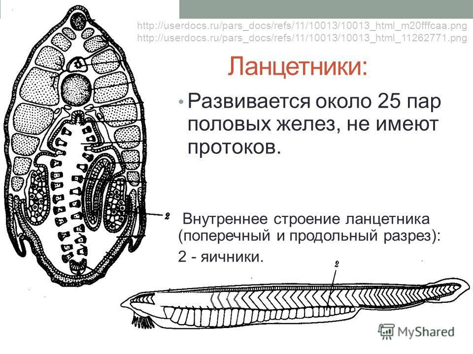 Ланцетники: Развивается около 25 пар половых желез, не имеют протоков. Внутреннее строение ланцетника (поперечный и продольный разрез): 2 - яичники. http://userdocs.ru/pars_docs/refs/11/10013/10013_html_m20fffcaa.png http://userdocs.ru/pars_docs/refs