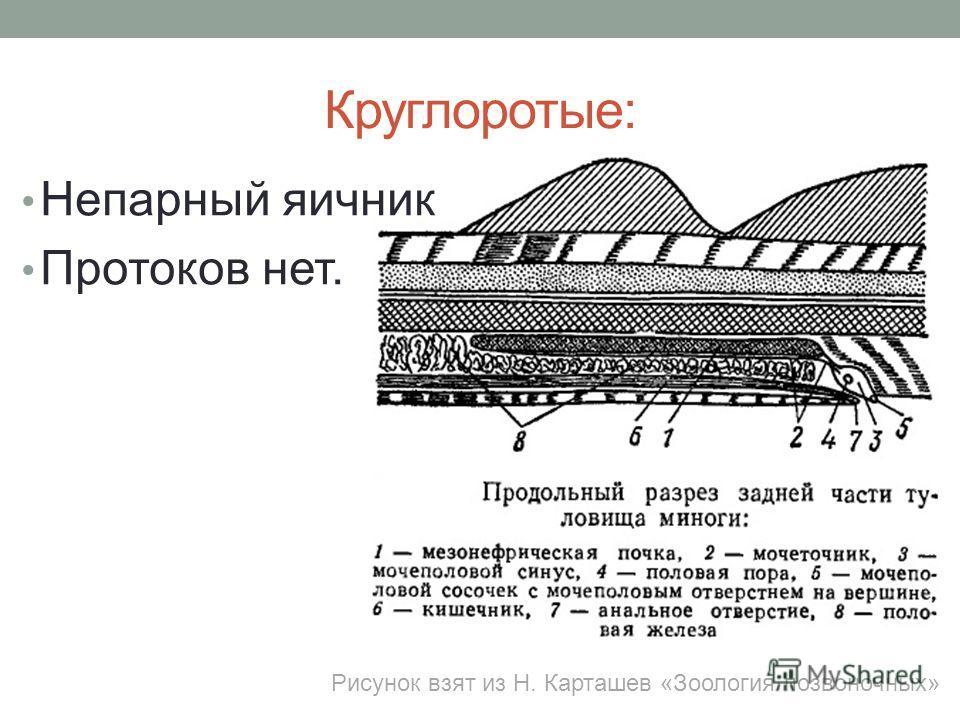 Круглоротые: Непарный яичник Протоков нет. Рисунок взят из Н. Карташев «Зоология позвоночных»