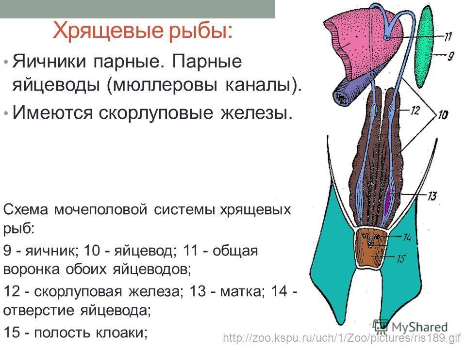Хрящевые рыбы: Яичники парные. Парные яйцеводы (мюллеровы каналы). Имеются скорлуповые железы. Схема мочеполовой системы хрящевых рыб: 9 - яичник; 10 - яйцевод; 11 - общая воронка обоих яйцеводов; 12 - скорлуповая железа; 13 - матка; 14 - отверстие я
