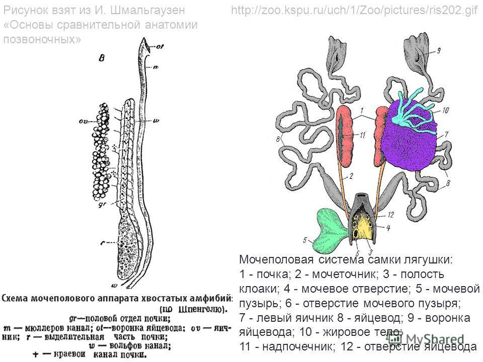 Мочеполовая система самки лягушки: 1 - почка; 2 - мочеточник; 3 - полость клоаки; 4 - мочевое отверстие; 5 - мочевой пузырь; 6 - отверстие мочевого пузыря; 7 - левый яичник 8 - яйцевод; 9 - воронка яйцевода; 10 - жировое тело; 11 - надпочечник; 12 -