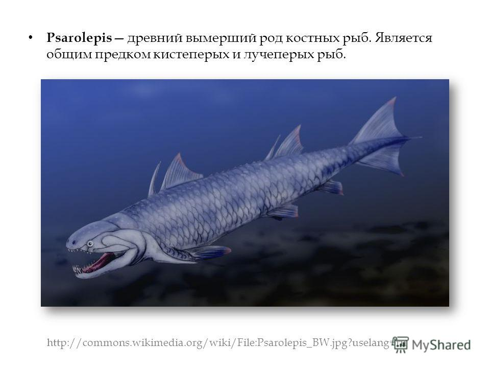 Psarolepis древний вымерший род костных рыб. Является общим предком кистеперых и лучеперых рыб. http://commons.wikimedia.org/wiki/File:Psarolepis_BW.jpg?uselang=ru