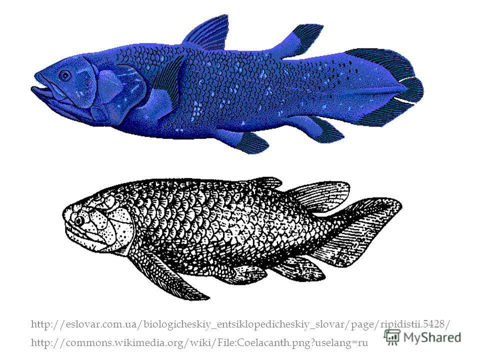 http://commons.wikimedia.org/wiki/File:Coelacanth.png?uselang=ru http://eslovar.com.ua/biologicheskiy_entsiklopedicheskiy_slovar/page/ripidistii.5428/