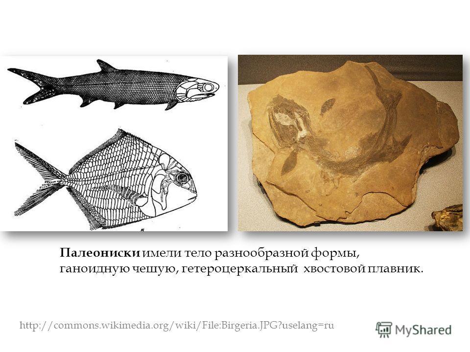 Палеониски имели тело разнообразной формы, ганоидную чешую, гетероцеркальный хвостовой плавник. http://commons.wikimedia.org/wiki/File:Birgeria.JPG?uselang=ru