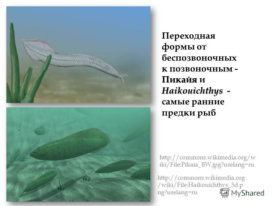 Пикайя Haikouichthys Переходная формы от беспозвоночных к позвоночным - Пикайя и Haikouichthys - самые ранние предки рыб http://commons.wikimedia.org/w iki/File:Pikaia_BW.jpg?uselang=ru http://commons.wikimedia.org /wiki/File:Haikouichthys_3d.p ng?us