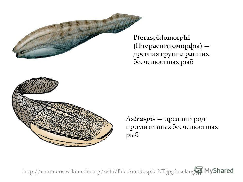 http://commons.wikimedia.org/wiki/File:Arandaspis_NT.jpg?uselang=ru Pteraspidomorphi (Птераспидоморфы) древняя группа ранних бесчелюстных рыб Astraspis древний род примитивных бесчелюстных рыб