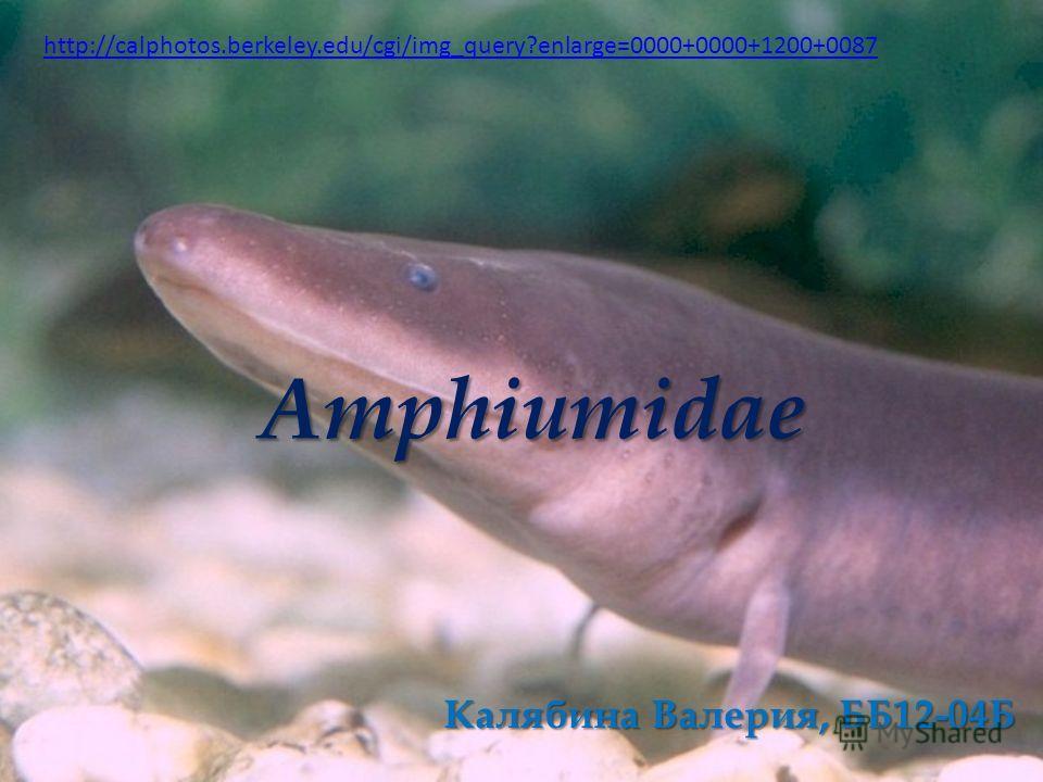 Amphiumidae Калябина Валерия, ББ12-04Б http://calphotos.berkeley.edu/cgi/img_query?enlarge=0000+0000+1200+0087