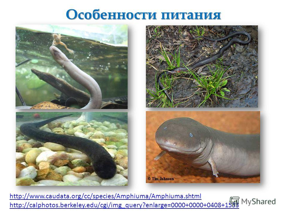 Особенности питания http://www.caudata.org/cc/species/Amphiuma/Amphiuma.shtml http://calphotos.berkeley.edu/cgi/img_query?enlarge=0000+0000+0408+1533