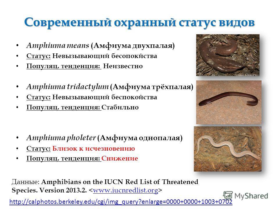 Современный охранный статус видов Amphiuma means (Амфиума двухпалая) Статус: Невызывающий бесопокйства Популяц. тенденция: Неизвестно Amphiuma tridactylum (Амфиума трёхпалая) Статус: Невызывающий беспокойства Популяц. тенденция: Стабильно Amphiuma ph