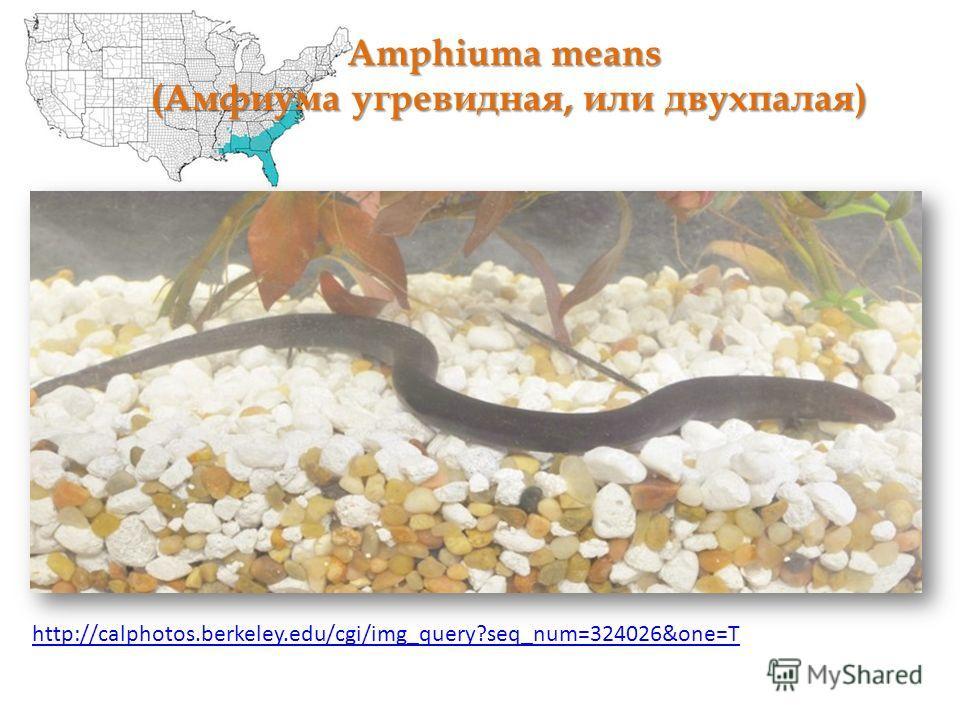Amphiuma means (Амфиума угревидная, или двухпалая) http://calphotos.berkeley.edu/cgi/img_query?seq_num=324026&one=T