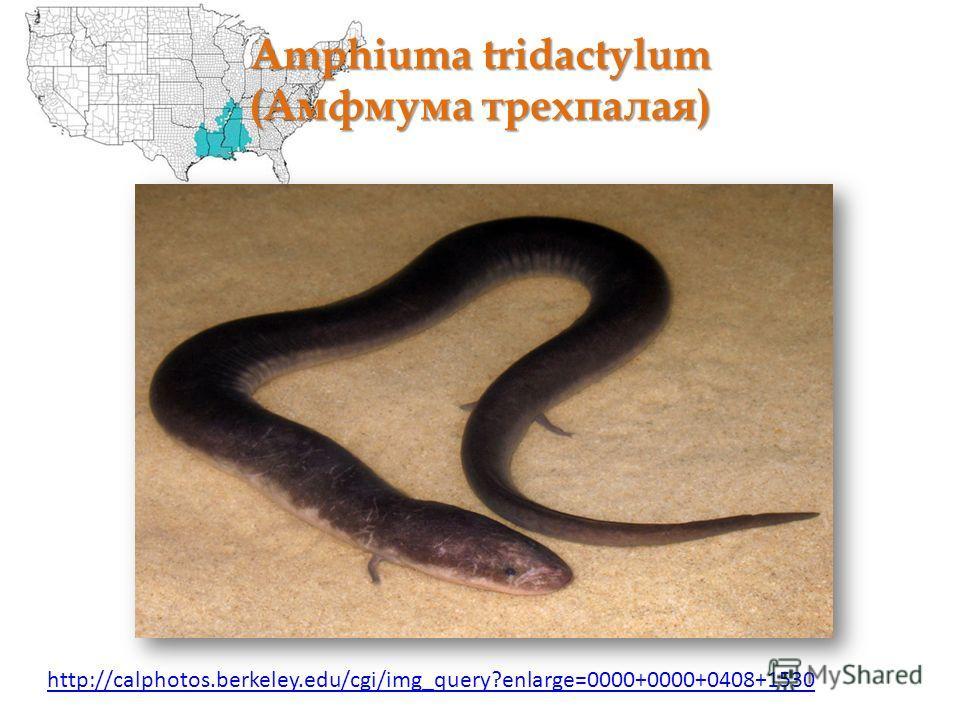 Amphiuma tridactylum (Амфмума трехпалая) http://calphotos.berkeley.edu/cgi/img_query?enlarge=0000+0000+0408+1530