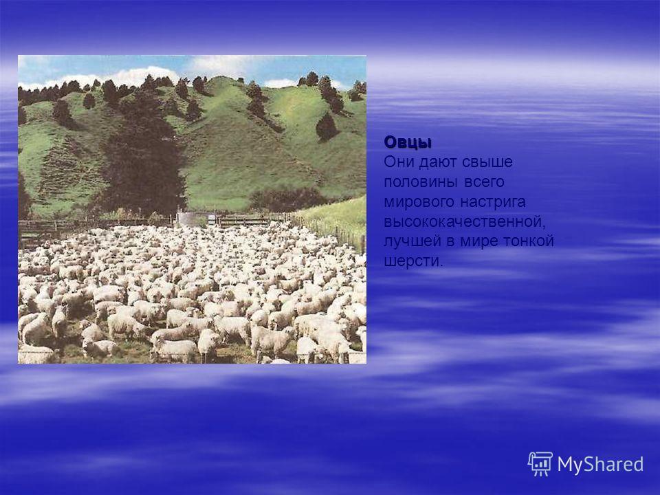Овцы Они дают свыше половины всего мирового настрига высококачественной, лучшей в мире тонкой шерсти.