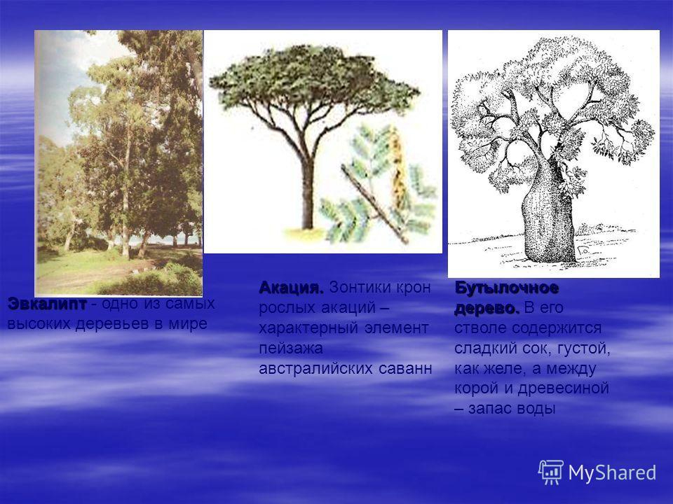Эвкалипт Эвкалипт - одно из самых высоких деревьев в мире Акация. Акация. Зонтики крон рослых акаций – характерный элемент пейзажа австралийских саванн Бутылочное дерево. Бутылочное дерево. В его стволе содержится сладкий сок, густой, как желе, а меж