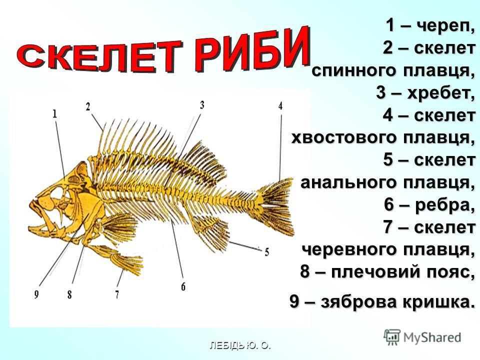 1 – череп, 2 – скелет спинного плавця, 3 – хребет, 4 – скелет хвостового плавця, 5 – скелет анального плавця, 6 – ребра, 7 – скелет черевного плавця, 8 – плечовий пояс, 9 – зяброва кришка. 1 – череп, 2 – скелет спинного плавця, 3 – хребет, 4 – скелет