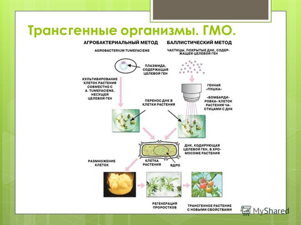 Трансгенные организмы. ГМО.