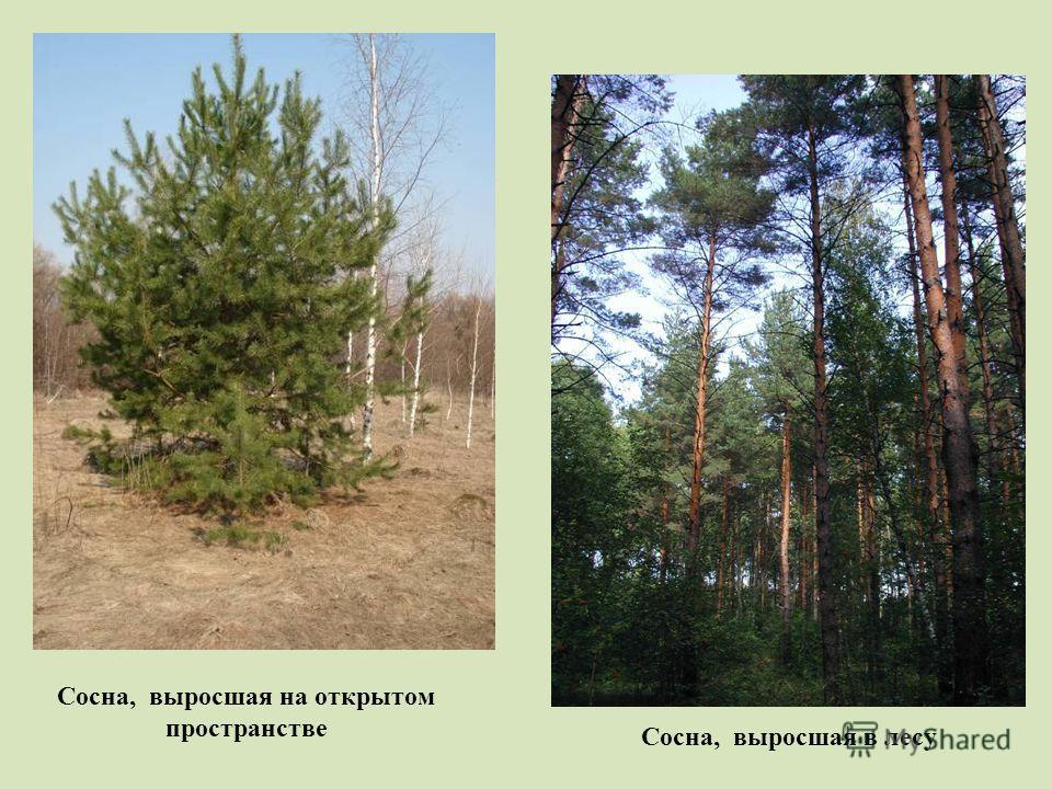 Сосна, выросшая на открытом пространстве Сосна, выросшая в лесу