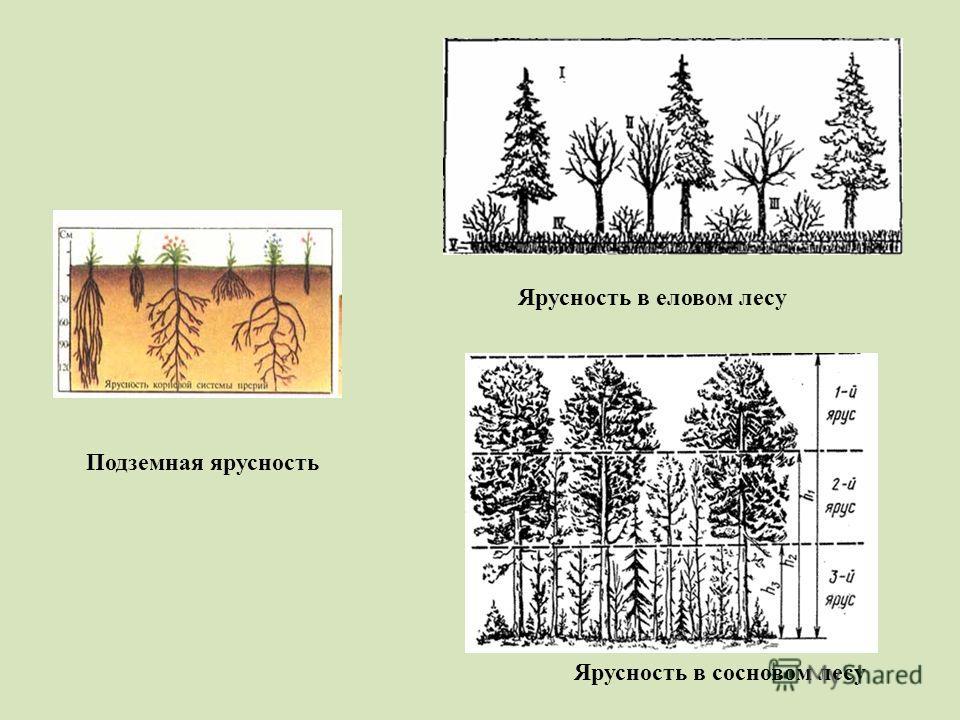 Подземная ярусность Ярусность в сосновом лесу Ярусность в еловом лесу
