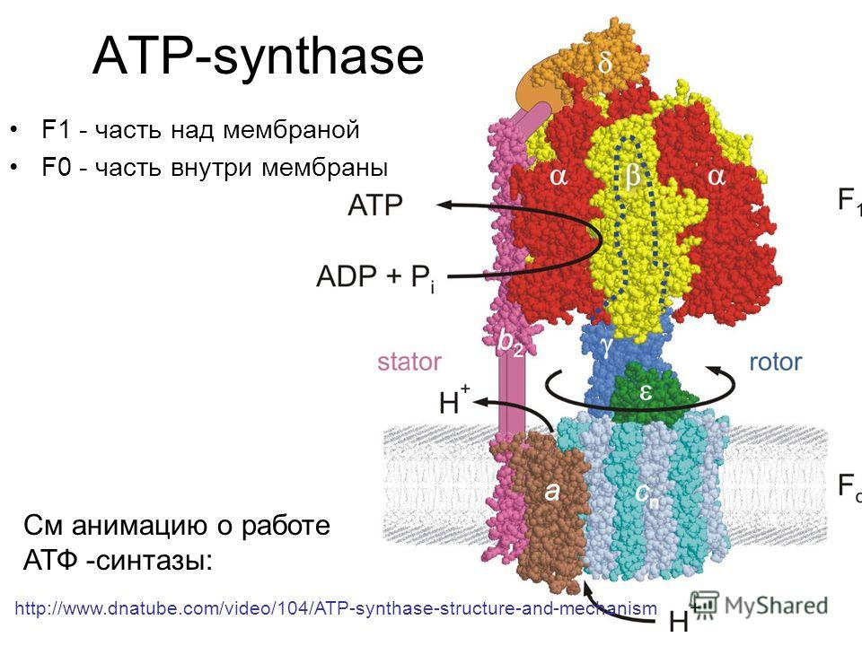 ATP-synthase F1 - часть над мембраной F0 - часть внутри мембраны http://www.dnatube.com/video/104/ATP-synthase-structure-and-mechanism См анимацию о работе АТФ -cинтазы: