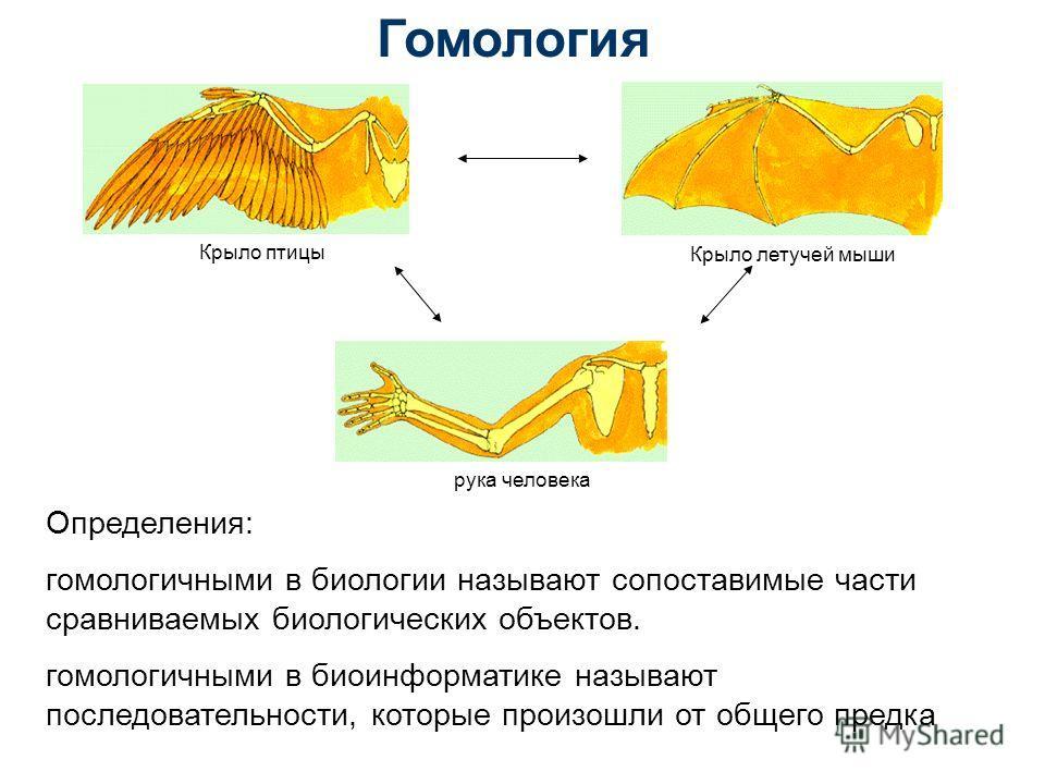 Гомология Крыло птицы Крыло летучей мыши рука человека Определения: гомологичными в биологии называют сопоставимые части сравниваемых биологических объектов. гомологичными в биоинформатике называют последовательности, которые произошли от общего пред