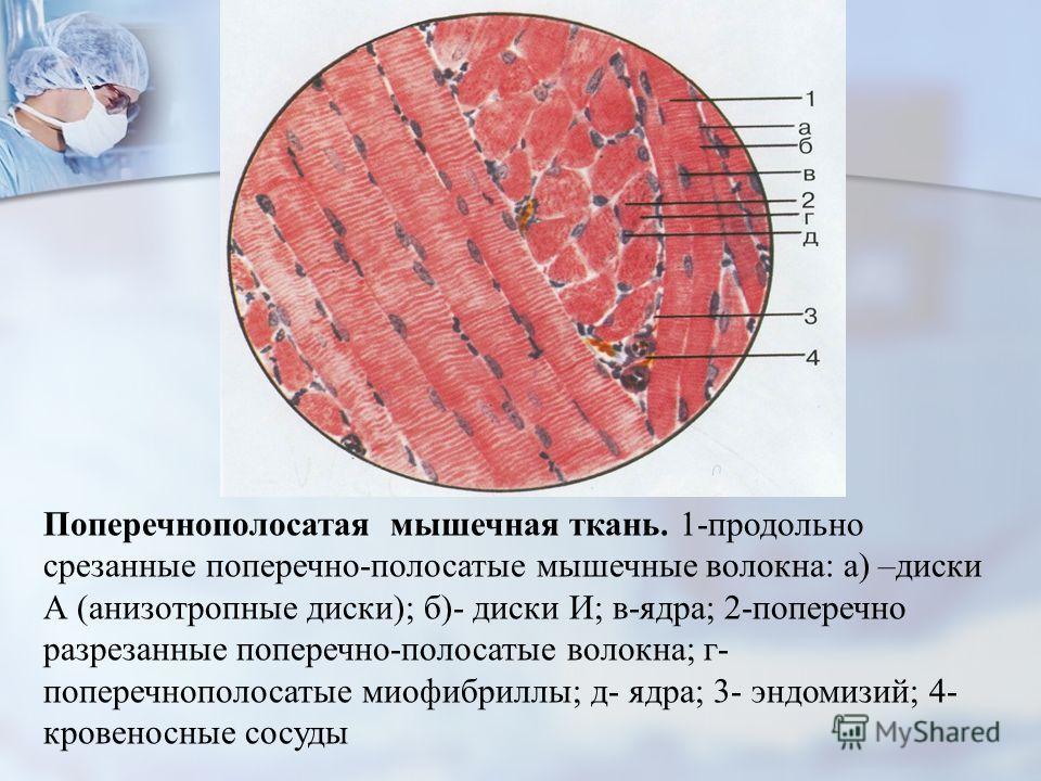 Поперечнополосатая мышечная ткань. 1-продольно срезанные поперечно-полосатые мышечные волокна: а) –диски А (анизотропные диски); б)- диски И; в-ядра; 2-поперечно разрезанные поперечно-полосатые волокна; г- поперечнополосатые миофибриллы; д- ядра; 3-
