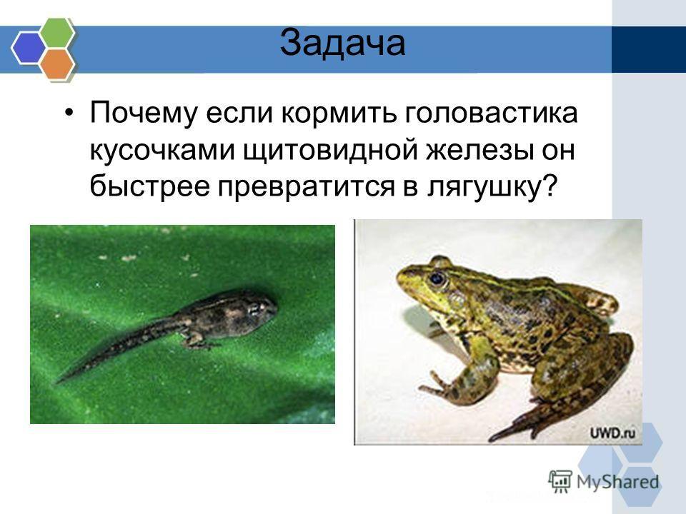 Задача Почему если кормить головастика кусочками щитовидной железы он быстрее превратится в лягушку?