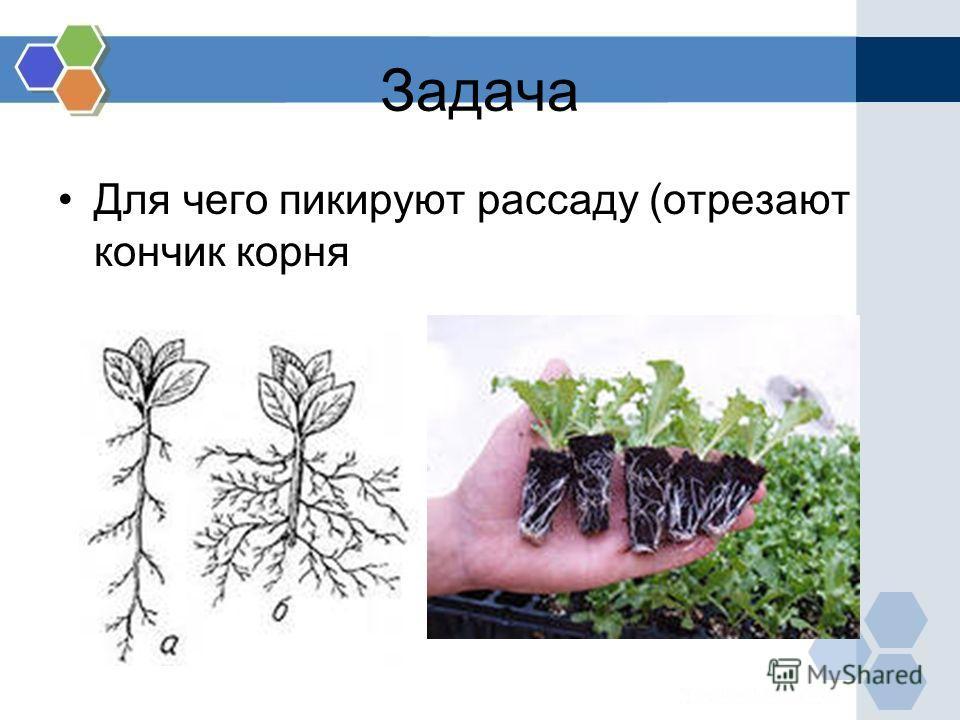 Задача Для чего пикируют рассаду (отрезают кончик корня