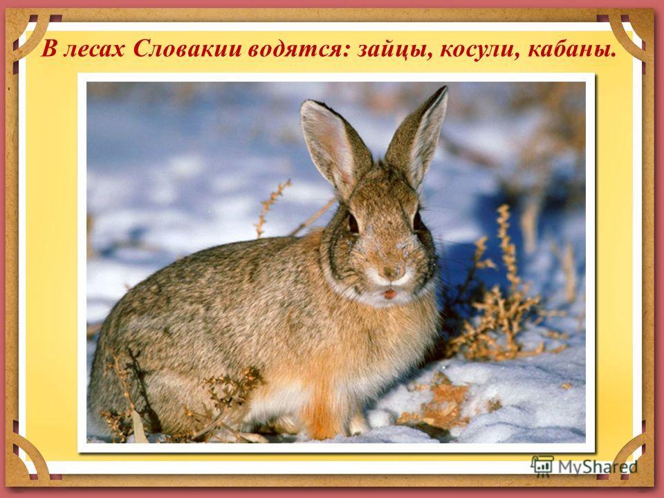 В лесах Словакии водятся: зайцы, косули, кабаны.