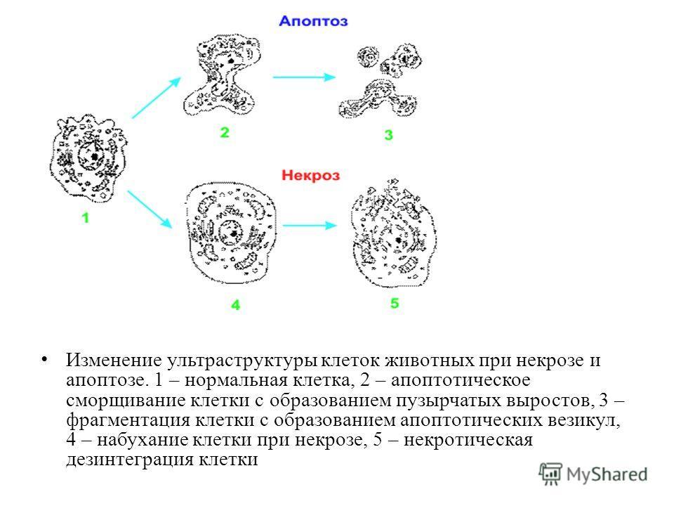 Изменение ультраструктуры клеток животных при некрозе и апоптозе. 1 – нормальная клетка, 2 – апоптотическое сморщивание клетки с образованием пузырчатых выростов, 3 – фрагментация клетки с образованием апоптотических везикул, 4 – набухание клетки при