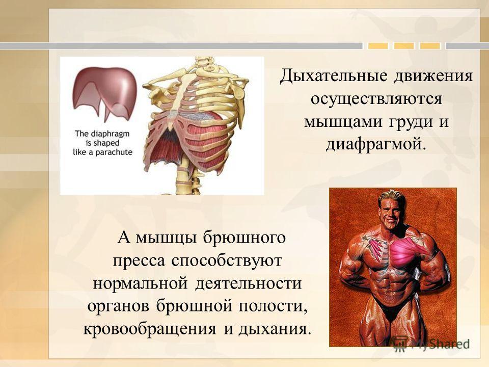 Дыхательные движения осуществляются мышцами груди и диафрагмой.
