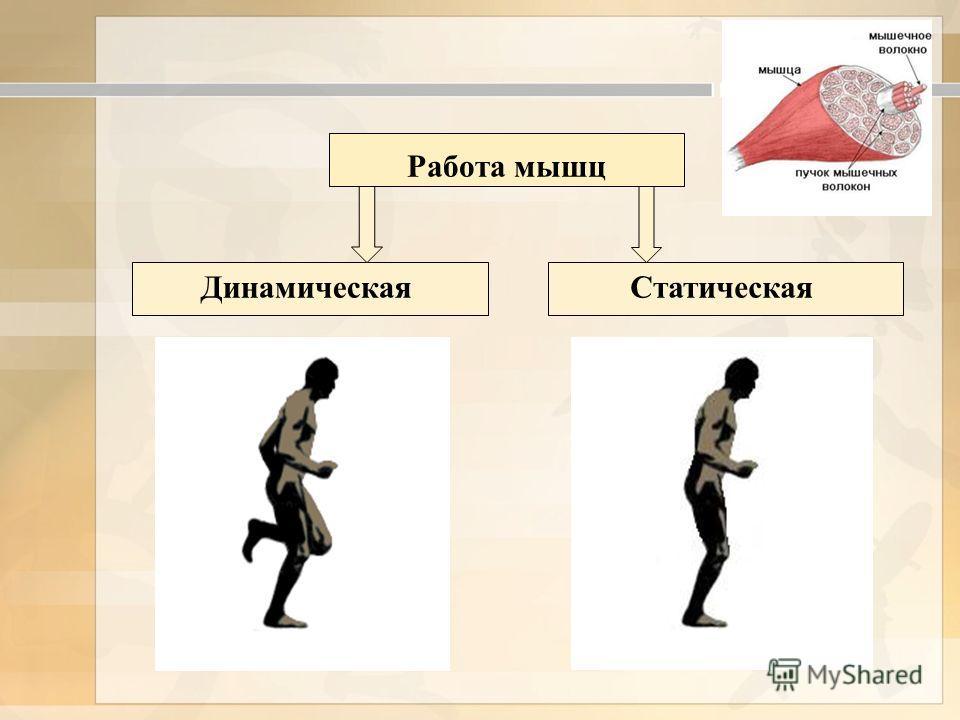 Работа мышц ДинамическаяСтатическая