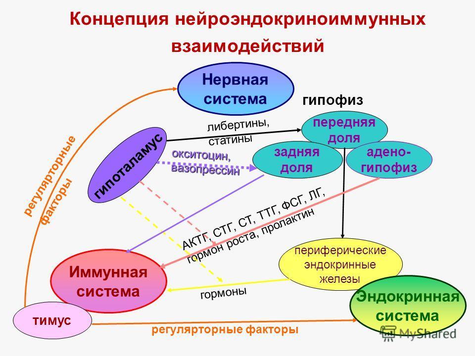 Концепция нейроэндокриноиммунных взаимодействий Нервная система Иммунная система гипоталамус передняя доля адено- гипофиз задняя доля гипофиз тимус периферические эндокринные железы Эндокринная система либертины, статины окситоцин,вазопрессин АКТГ, С