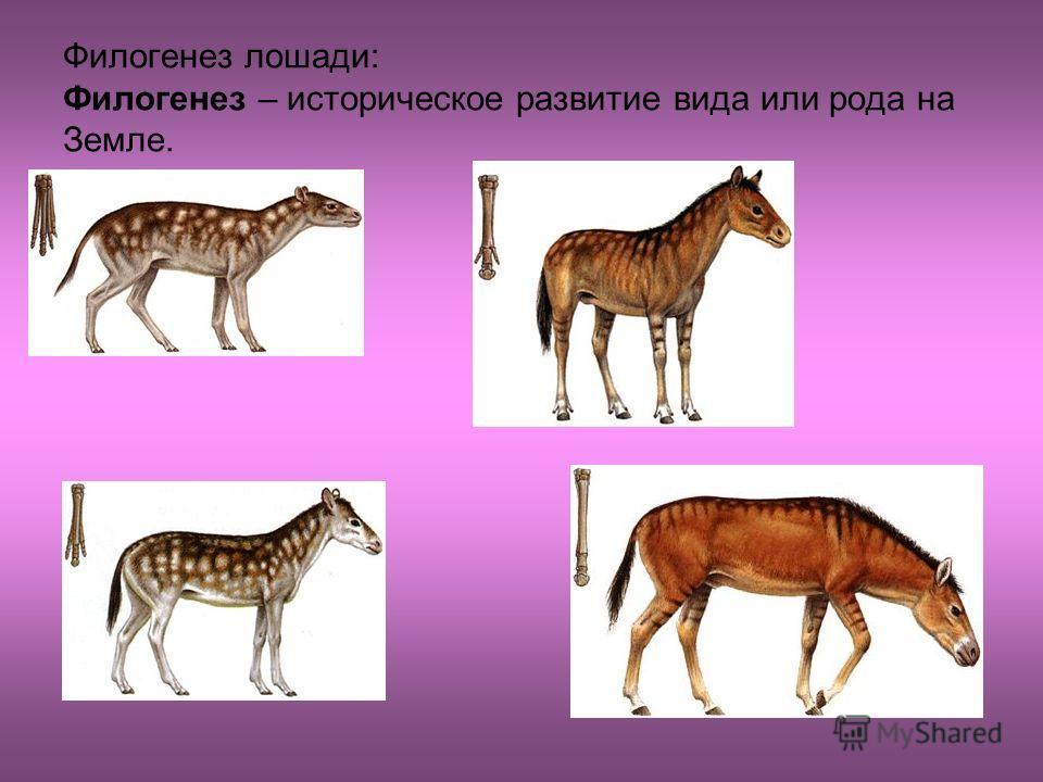 Филогенез лошади: Филогенез – историческое развитие вида или рода на Земле.