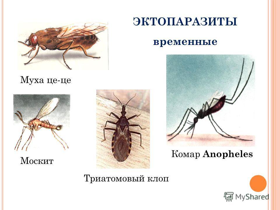 ЭКТОПАРАЗИТЫ временные Москит Муха це-це Триатомовый клоп Комар Anopheles